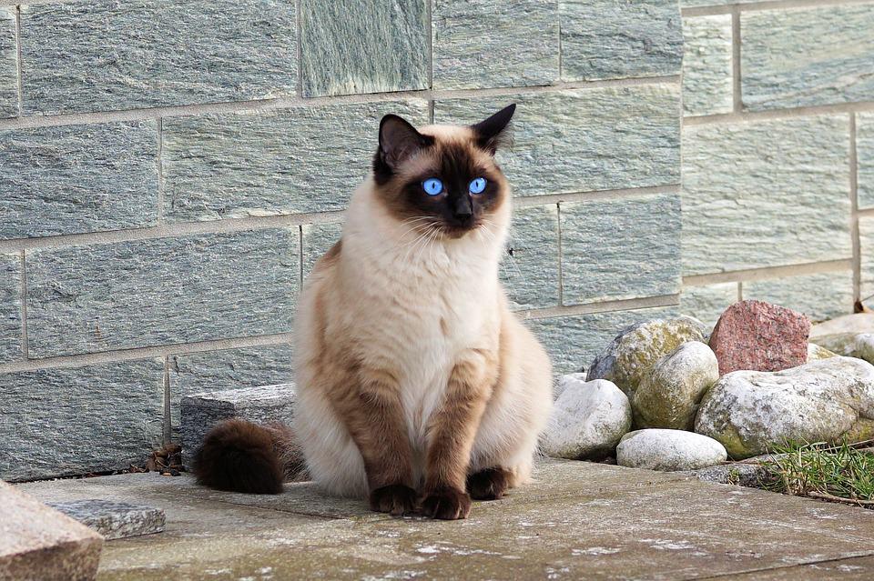 Le Sacré de Birmanie, un chat légendaire