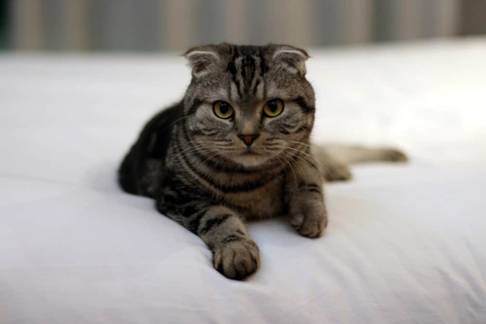 Un chat Scottish Fold