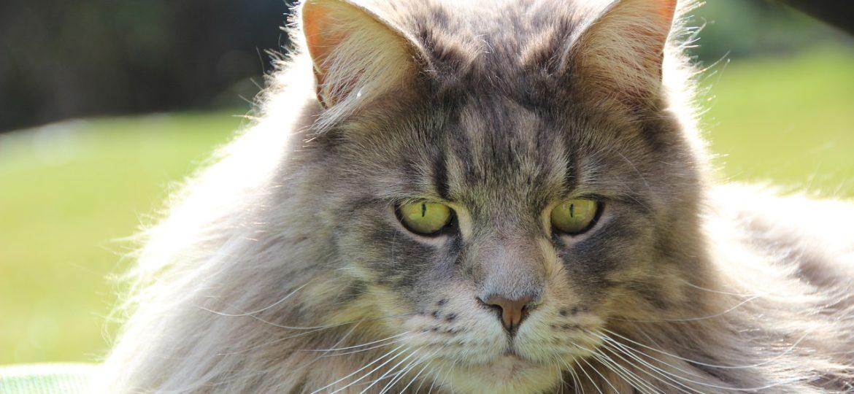 Le Maine Coon: la géante race de chat