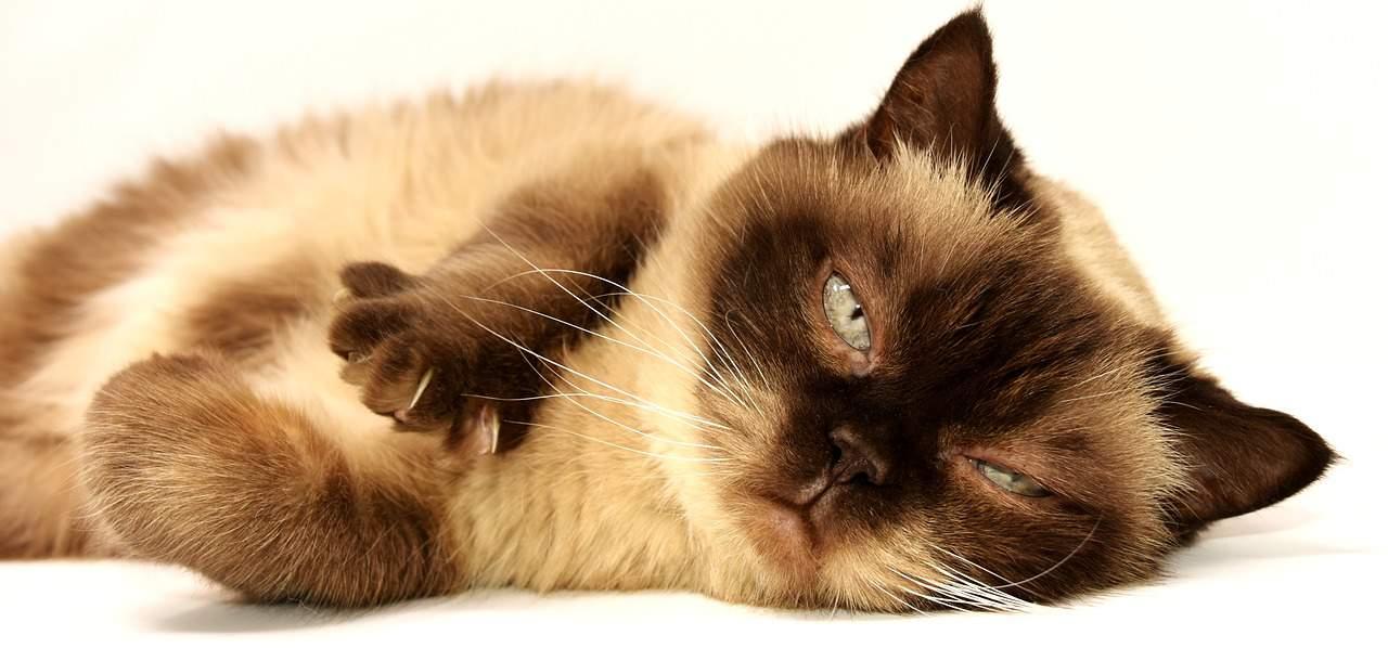 chat infest par les puces comment r agir comment chat va. Black Bedroom Furniture Sets. Home Design Ideas