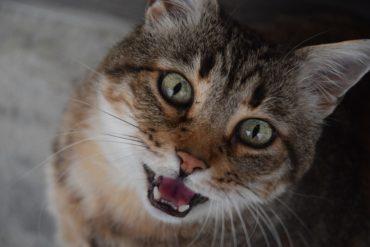chat qui miaule la nuit