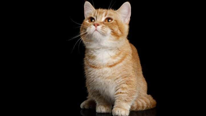 Chat nain : tout savoir sur le chat Munchkin